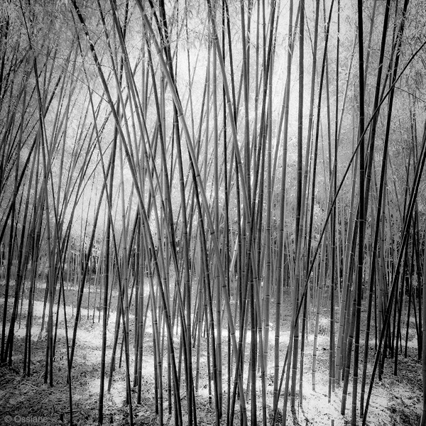 Shade of the Bamboos: photo FILTER (Author: Ossiane)