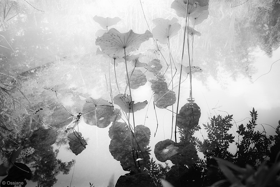 Lotus: photo CLOUDS (Author: Ossiane)